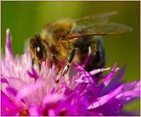 пчела медоносная фото