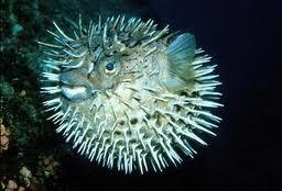 рыба ёж фото