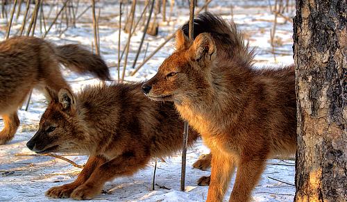 красные волки фото