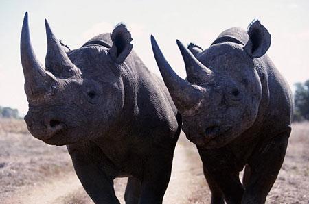 носорог черный фото