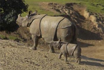 носорог яванский фото