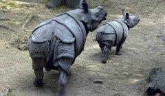 носорог суматранский фото