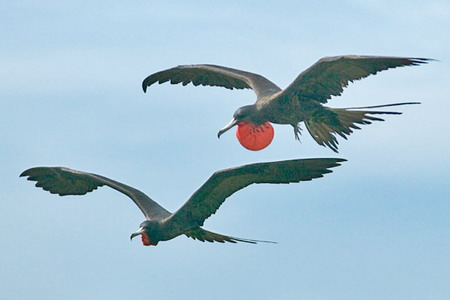 птицы фрегаты фото