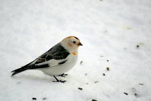 птица пуночка фото