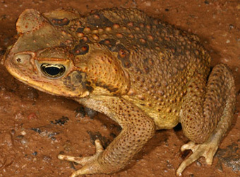 ага жаба фото