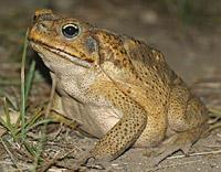 жаба ага фото