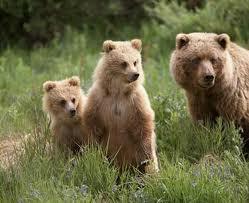 медведица с медвежатами фото