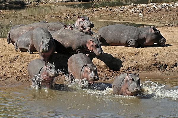 семейство бегемотов фото