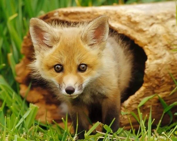 рыжая лисица фото