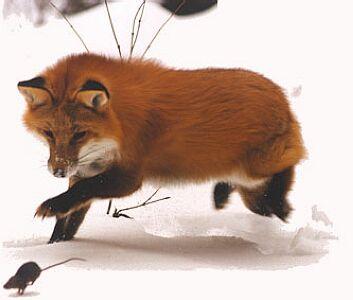 лиса охотится фото