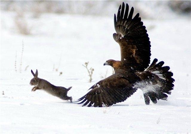 птица беркут охотится фото