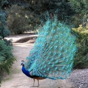 птица павлин фото