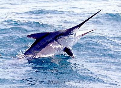 меч рыба фото
