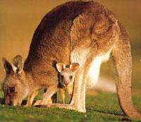 самка кенгуру с детенышем фото