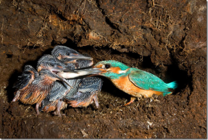 зимородок с птенцами фото
