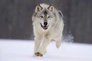 охота волка обыкновенного фото