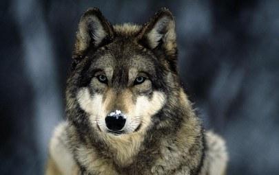 волк серый фото