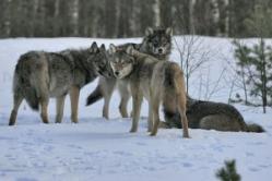 стая серых волков фото
