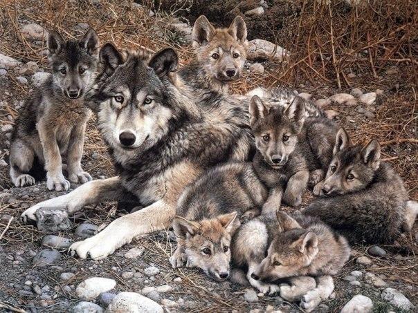 волчица с волчатами фото