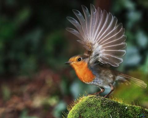 птица зарянка фото