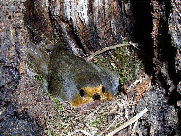 зарянка в гнезде фото