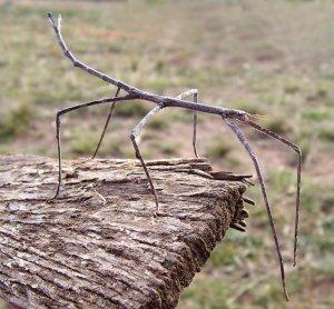 насекомое палочник фото