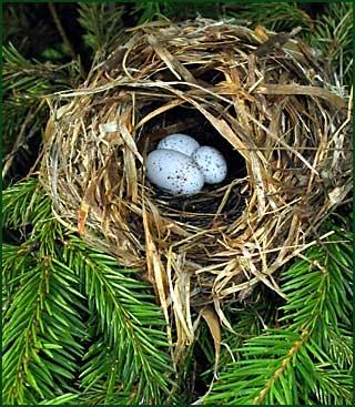 подложенное яйцо кукушки в гнездо пеночки фото
