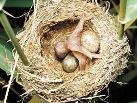 кукушонок выбрасывает яйца из гнезда фото