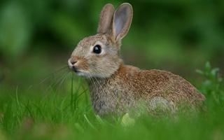 заяц-русак фото