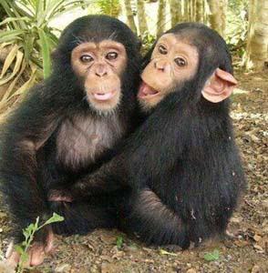 дети шимпанзе фото