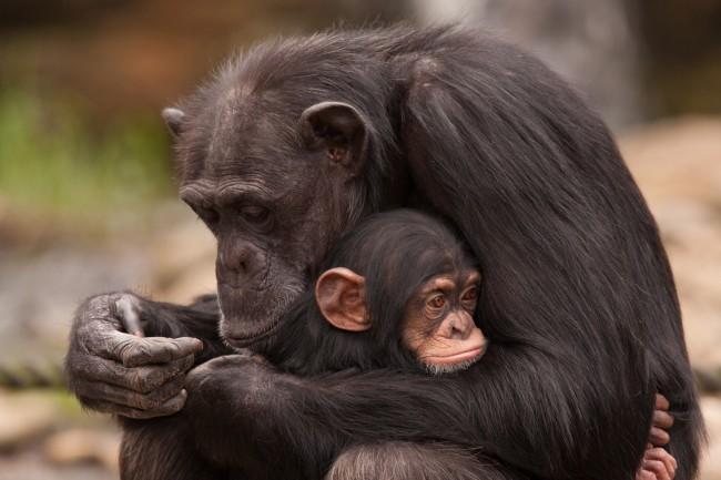шимпанзе с детенышем фото