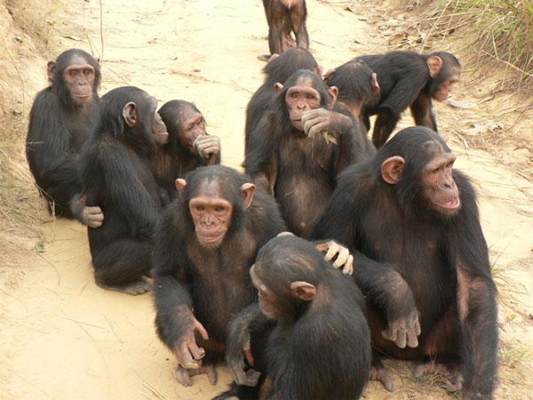 шимпанзе фото