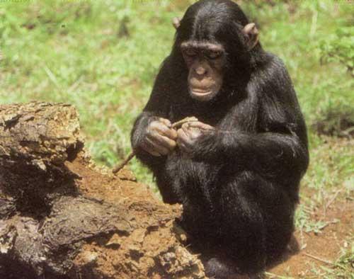 шимпанзе у 'дома' термитов фото