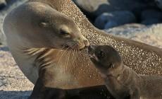 калифорнийские морские львы, мать с детенышем фото
