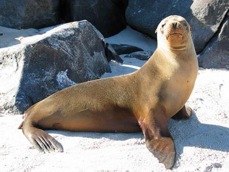 калифорнийский морской лев фото