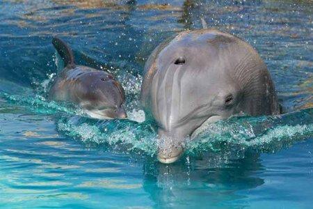 дельфин афалина с детенышем фото
