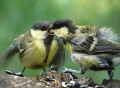 птицы синицы фото