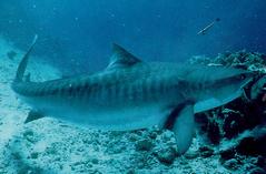 тигровая акула фото