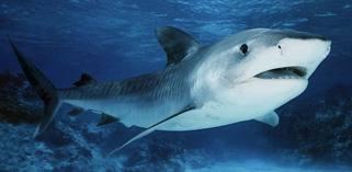 акула китовая фото