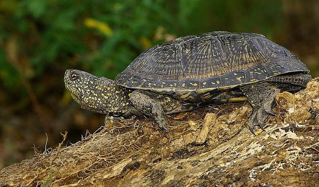 болотная черепаха фото