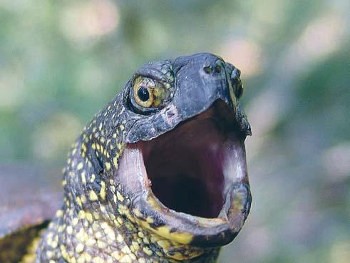 болотная европейская черепаха фото
