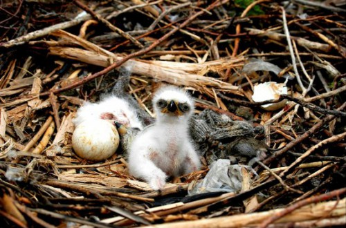птенцы степного орла фото