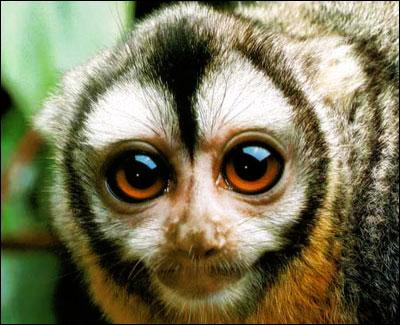 ночные обезьяны фото