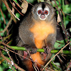 ночная обезьяна фото