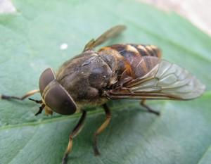 насекомое овод фото