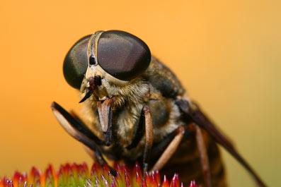 овод насекомое фото