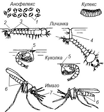 малярийный комар стадии развития фото