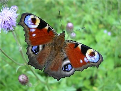 бабочка павлиний глаз фото