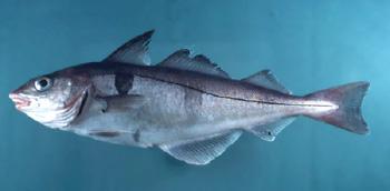 рыба пикша фото