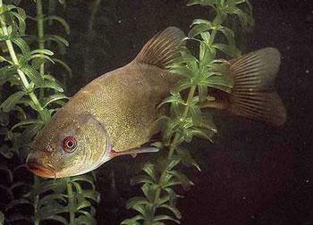 рыба линь фото